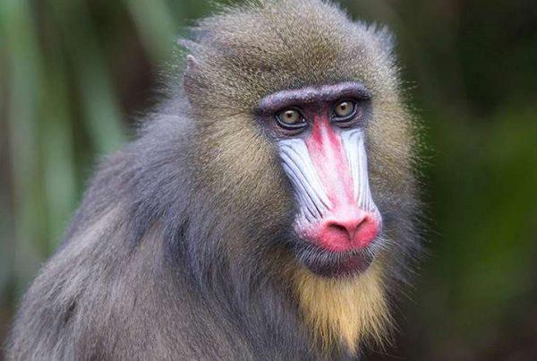 Mandrill Monkey Face